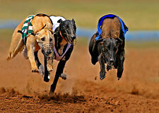 STUNNING GREYHOUND DOGS CANVAS #2 QUALITY A1 HOME DECOR DOGS PICTURE WALL ART