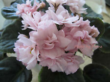 New listing African Violet Magnolia (M. Burns/R. Nadeau) plant - rare and gorgeous!