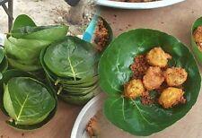 1 cutting Cup leaf Polyscias fruticosa. Ming Aralia organic Dessert sweet