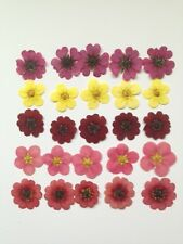 PRESSED FLOWERS 25 MIXED POTENTILLA