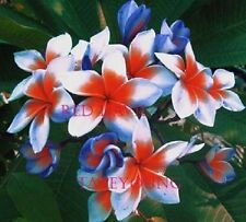 """RED DEVIL"" FRAGRANT PLUMERIA CUTTING WITH ROOTED 7-12"" WITH CER. EASY PLANT"