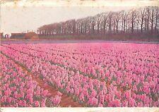 BR40216 veld met hyacinthen netherland   Netherlands