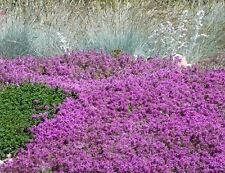 Mother of Thyme Seeds, Creeping Groundcover Seeds, Heirloom Non-GMO Seeds, 100ct