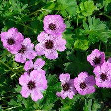 Storchschnabel 1 x Geranium cantabrigiense /'Cambridge/' 2,49 € pro St