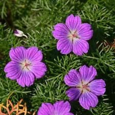Hardy Geranium 'Incanum' X 3 Jumbo Plug Plants Hardy Perennial