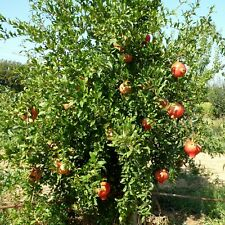 2 Punica granatum Der Granatapfel Baum - winterhart -7