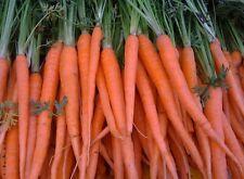 200 Fresh Carrot Tendersweet Seeds Free Usa Shipping