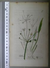 English Botany, Smith, Sowerby, handcoloured copperplate, 538, 3.Edition,1850.