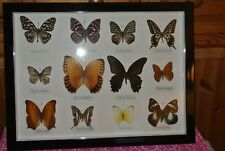 12  FRAMED TAXIDERMY BUTTERFLIES REAL SPECIMENS BUTTERFLY PICTURE FRAME INSECT