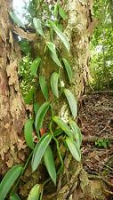 1 CUT / BOUTURE VANILLON (Vanilla pompona) - 1 METRE - Liane Orchidée RARE !!!