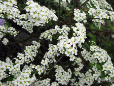 Brautspiere Spirea arguta 40-60cm Frühlingsblüher