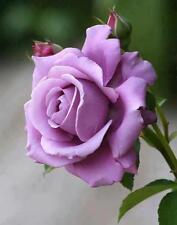 120 Pcs Lavender Rose Flower Seeds Elegant Fragrant,DIY Home Garden