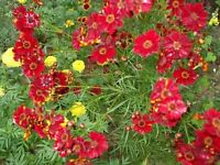 Coreopsis- Red Dwarf- 200 Seeds- BOGO 50% off SALE