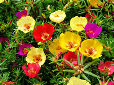 PORTULACA GRANDIFLORA SINGLE MIX - MOSS ROSE - 3500 FINEST SEEDS