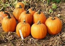 200 Seeds Howden  Pumpkin Seeds new seed for 2017 Non-GMO