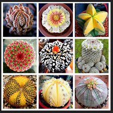 Rare Mix Lithops Succulent Cactus Organic Plants Bonsai 2019 New R 200 PCS Seeds