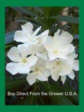 20 Seeds White Oleander Nerium Oleander Shrub Tree Seeds Exotic Tree Seeds - Usa
