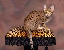 METAL MAGNET Spotted Chocolate Ocicat Cat Leopard Bench Cats MAGNET