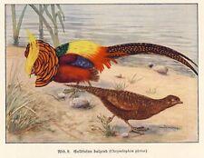 Fasane Farbenprächtige Fasanen 8 S Farbbericht von 1931 (N)