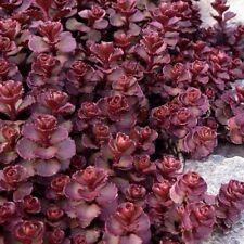 Sedum Purple Carpet Seed Evergreen Perennial Groundcover Flowering Drought OK