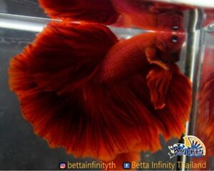 AAA+ Grade! : Premium Live Betta Fish High Quality : Male Rosetail Intense Red