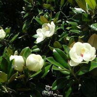 Magnolia grandiflora 10+ seeds Southern Magnolia Tree seeds