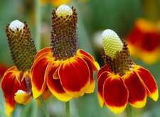 Mexican Hat Seeds, Heirloom Daisy Seeds, Non-Gmo Perennial Wildflower Seed 100ct