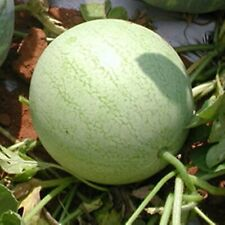 Watermelon Seeds - Ice Cream - Organically Grown Heirloom NON GMO