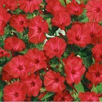 Four O'Clock - Red- 50 Seeds - - BOGO 50% off SALE