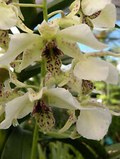 Orchid plant Den Roy Tokunaga Large bloom size orchid plant