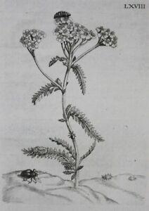 Milleflorens yarrow - engraving - Maria Sibylla Merian Europische Insecten 1730
