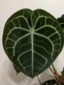 Anthurium Clarinervium. Aroid, Rare, Velvet Leaves