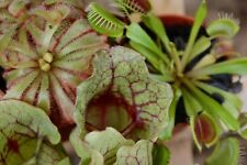 Three carnivorus plants, Venus fly trap, sarracenia pitcher plant and sundew (1)