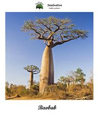 Adansonia digitata - Baobab - 10 semillas - seeds