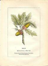 Stampa antica PIANTE DELLA BIBBIA CERRO Quercus cerris 1842 Old antique print