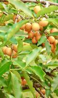 Lemon Drop Mangosteen Fruit Tree ( Garcinia Mameyito) 1'- 3' Tall *Fruit Soon*
