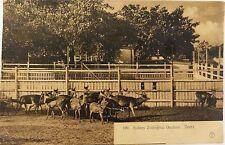 .EARLY 1900'S SYDNEY ZOOLOGICAL GARDENS, DEERS NSW POSTCARD. GIOVANARDI NO 199