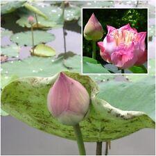 Nelumbo nucifera 5 Seeds, Lotus Seeds, Pink Flower Aquatic Plants Beautiful
