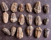 ONE 2 1/4 Inch to 4 1/5 Inch Trilobite Fossil Morocco