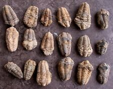 ONE 2 1/3 Inch to 4 1/5 Inch Trilobite Fossil Morocco