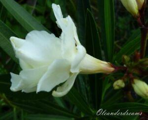 3 Oleander Stecklinge - ALBUM PLENUM - weiß dreifach gefüllt mit Duft