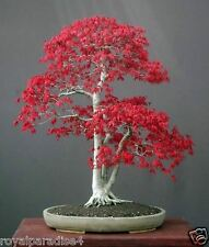 12 Seeds Red American Maple Bonsai Flowering Tree Seeds Good Growing Seeds