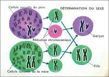 IMAGE CARD Anatomie Anatomy Sexe Cellule Sexuelle Père Mère Garçon Fille Sex 60s