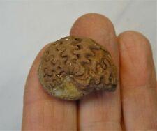 Ammonites - Permian Period - Arcestidae Ammonite from Timor - Ar4