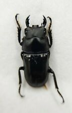 Lucanidae, Dorcus sp, Yunnan, 20mm, RARE, China