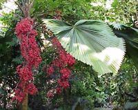 Palmen Samen !i Vanuata-Palme !i Licuala grandis direkt aus der Südsee !