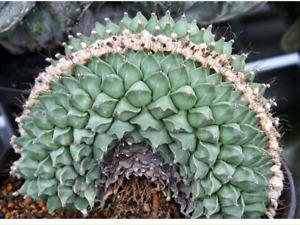 Obregonia denegrii var. cristata cactus Succulent plants potted Garden Bonsai