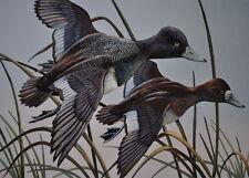 Ring-necked Duck Print 11 x 14 by Doug Walpus Birds Acrylic Limited Edition