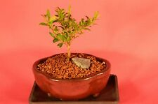 INDOOR BONSAI,KINGSVILLE BOXWOOD,2 YEARS OLD,BROOM STYLE,VERY SLOW GROWTH.