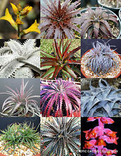 RARE DYCKIA MIX @@ exotic succulent hetchia agave xeriscaping aloe seed 25 SEEDS